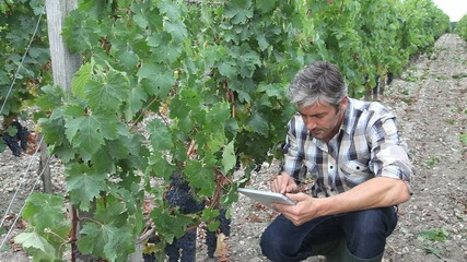 Winemarker in vine rows checking grapes quality