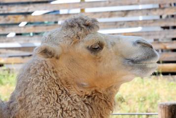 Camel headshot.