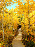 Trail through a forest of aspen trees during autumn