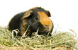 Glatthaar-Meerschweinchen im Heu seitlich