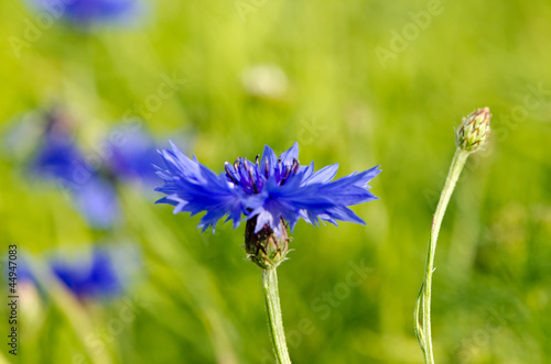 canvas print picture Closeup of blur cornflower bluet bluebottle flower