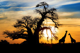 Spectacular African sunset with Baobab and Giraffe - 44948016