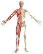 Leinwanddruck Bild - Male Muscular Skeleton Split Front View