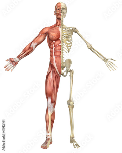 Male Muscular Skeleton Split Front View