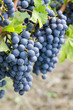Bunches of Cabernet Sauvignon Red Wine Grape