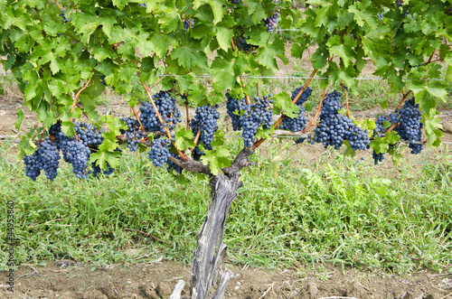 Row of Ripen Cabernet Sauvignon Red Wine Grapes in a Vineyard