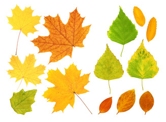 Leafs of birch, maple and barberry