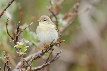 Zilpzalp, Common chiffchaff, Phylloscopus collybita