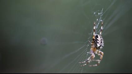 araignée au vent