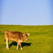 Allgäuer Kuh
