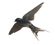 Barn Swallow, Hirundo rustica, flying against white background