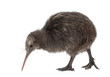 North Island Brown Kiwi, Apteryx mantelli, 5 months old