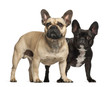 French bulldogs, 3 years old