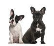 French bulldog puppies, 4 months old