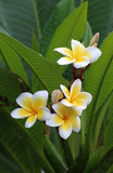 white and yellow frangipani flowers or tropical flower with leav