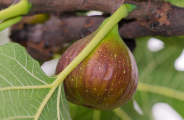 Fichi - Ficus carica