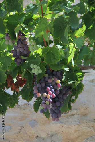 Grapes in the Provence