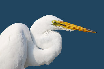 American great egret against a blue background