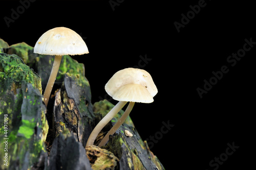 Deep Root mushroom (Xerula radicata) growing on a tree trunk