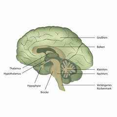 brain structure vector illustration