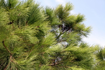 aghi di un pino marittimo
