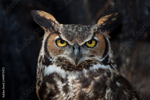 Poster Uil Great Horned Owl in a Tree