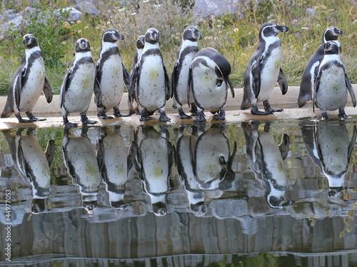 Tuinposter Pinguin Zehn Humboldtpinguine mit Spiegelbild