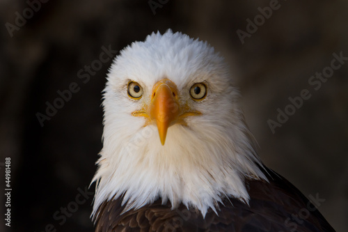 Portrait of a bald eagle close up