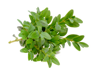Boxwood (Box) Branches with Green Leaves Isolated on White