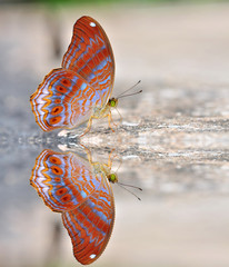 Red butterfly (royal assyrian)