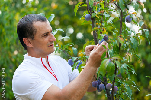 Young man picking plums from tree