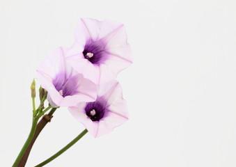 珍しいサツマイモの開花