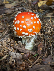 Very bright small fly agaric