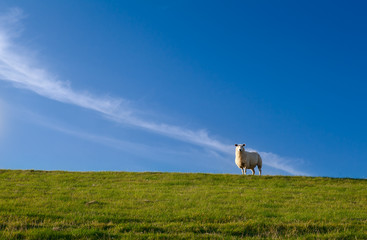 cute sheep over blue sky