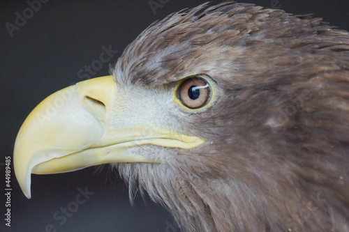 Sea Eagle / haliaeetus albicilla