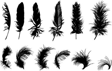 twelve black feathers isolated on white background
