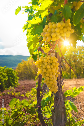 Vineyard - 44992631