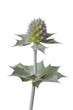 Fresh Sea holly close up