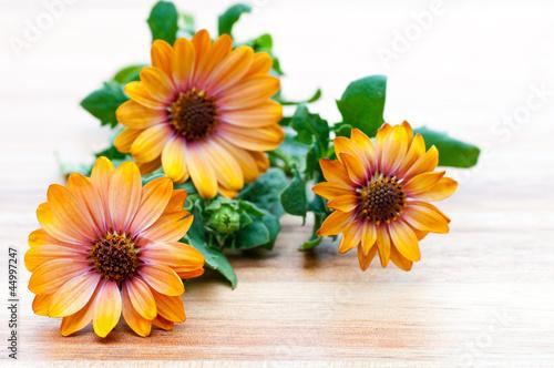 Drei Blüten der Ringelblume Calendula