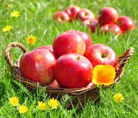 Frisch gepflückte rote Äpfel