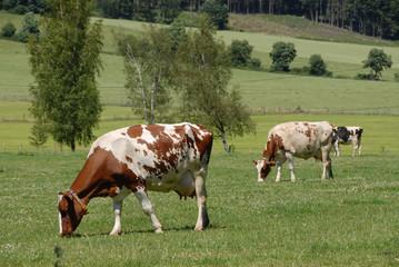 Rinder, Kühe, Braunbunte, Bauernhof, Landwirtschaft, Viehhaltung