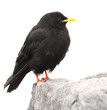 The Alpine Chough (Pyrrhocorax graculus).