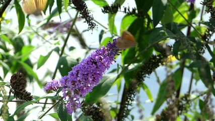 butterflies on a purple flower