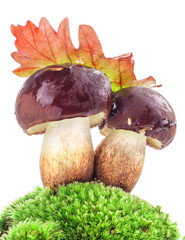 Boletus mushrooms (Xerocomus badius, Boletus badius) on moss