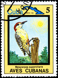 Melanerpes Superciliaris, from Series Cuban Birds