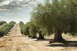 Fototapety Olive trees