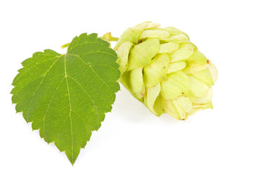 Hops isolated