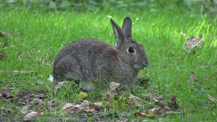 Rabbit nibbling grass in a wood, in England.