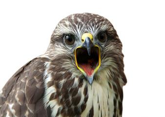 Isolated screaming bird