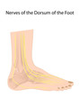 Dorsal digital nerves of foot, eps10